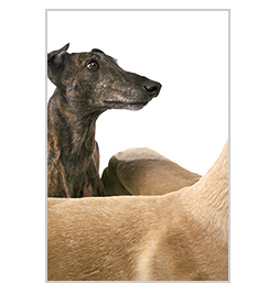 Greyhounds the book
