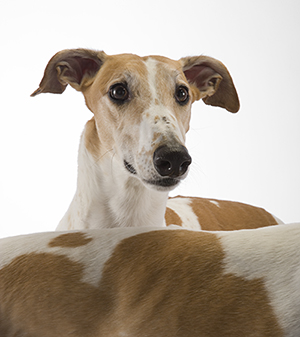 Greyhounds rescue 2